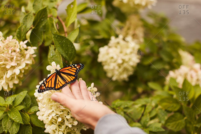 Person holding a monarch butterfly on a white wildflower