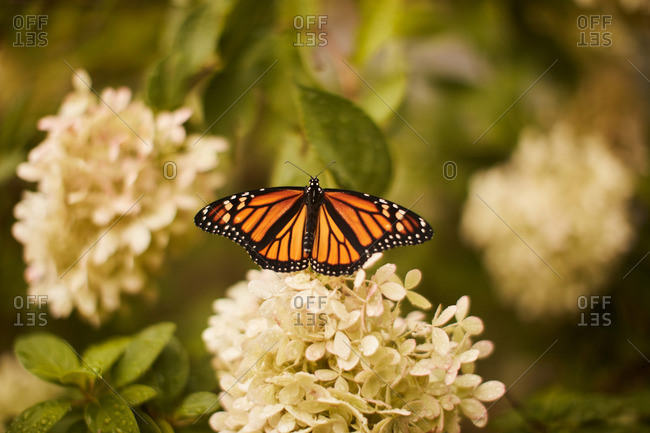 Close-up of a monarch butterfly on a white wildflower