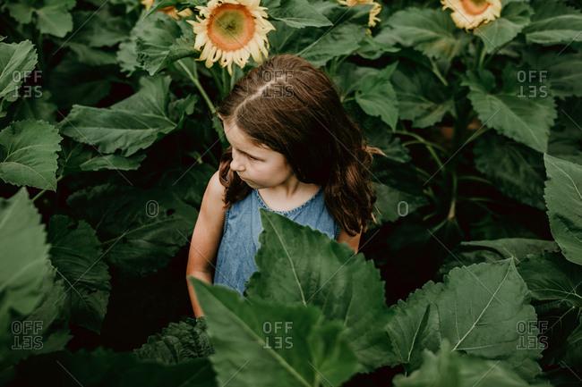 Little girl in a field of sunflowers
