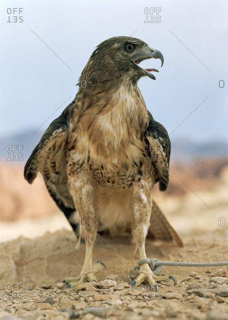 Bird of prey standing with a rope around its leg.