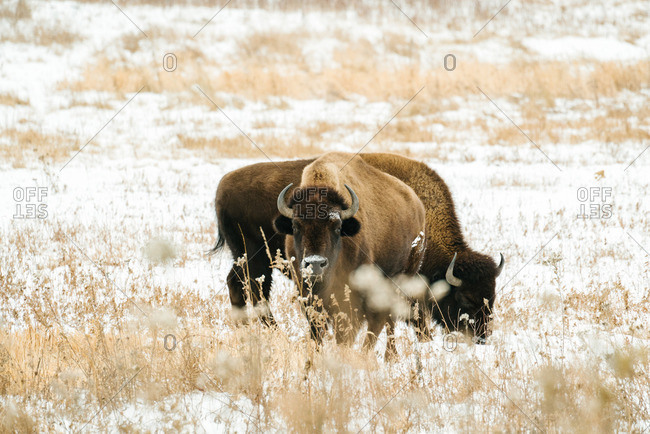 Two bison on snow covered plains