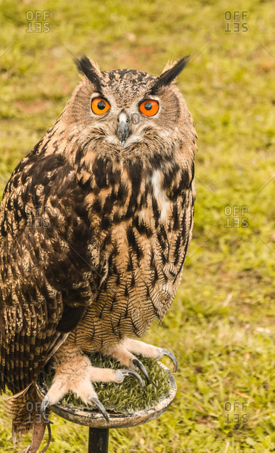 Beautiful owl on stand looking away between green grass and fence in Isoba, Castile and Leon, Spain