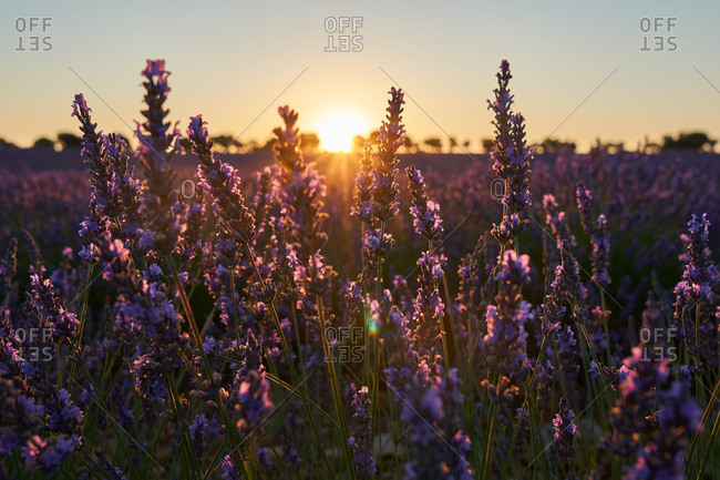 Lavender field at sunset - Offset