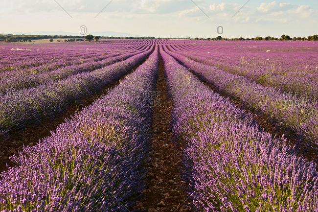Big violet lavender field