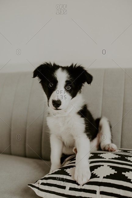 Adorable little puppy looking at camera while sitting on soft cushion on comfortable couch at home