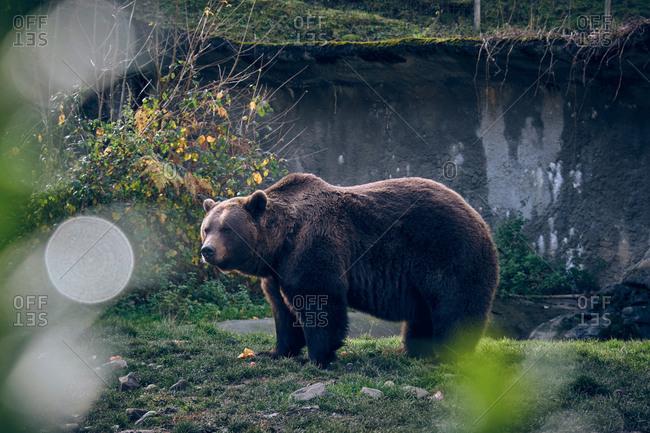 Wild bear standing on grass