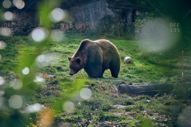 Side view of big grizzly smelling grass on meadow near tree twigs