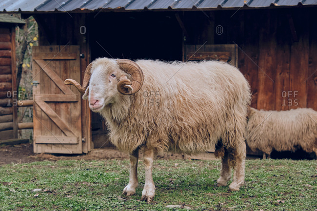 Side view of white sheep on meadow near enclosure in countryside