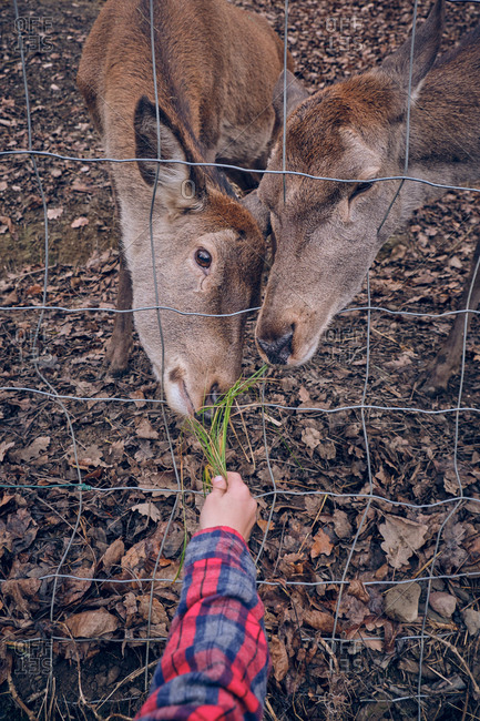 Crop hand of human in shirt with green grass feeding deer through fence and dry leaves on ground