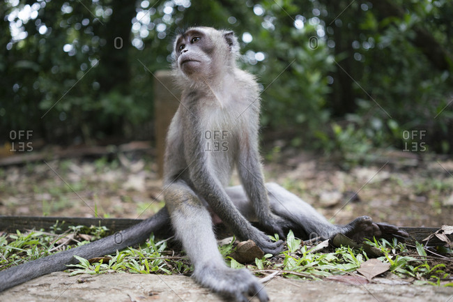 monkey sitting on ground of wood tropical forest in Malaysia