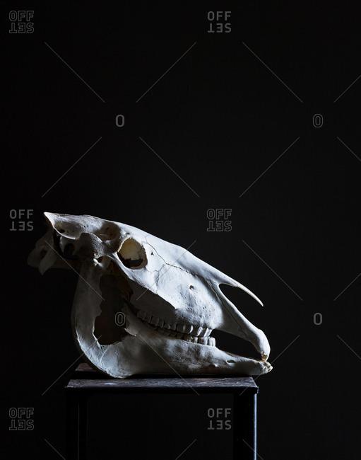 Belgian horse skull