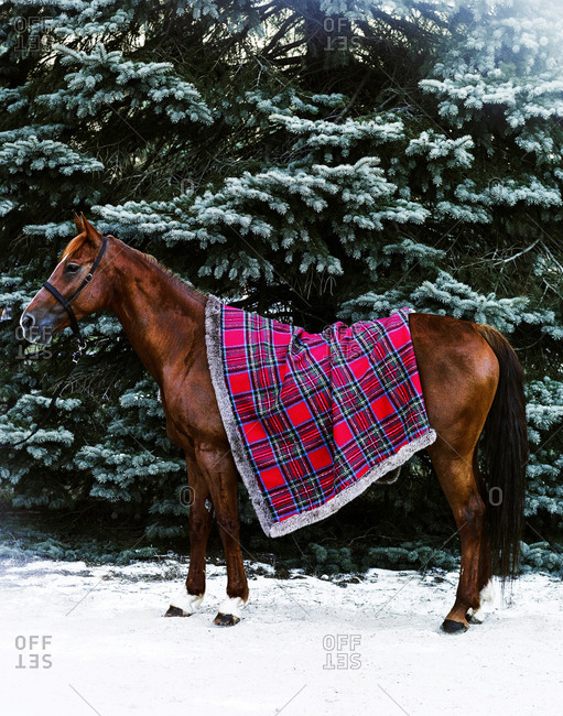 Brown horse draped with plaid blanket