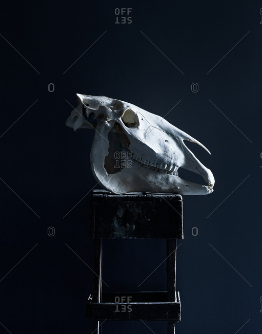 Belgian horse skull on table