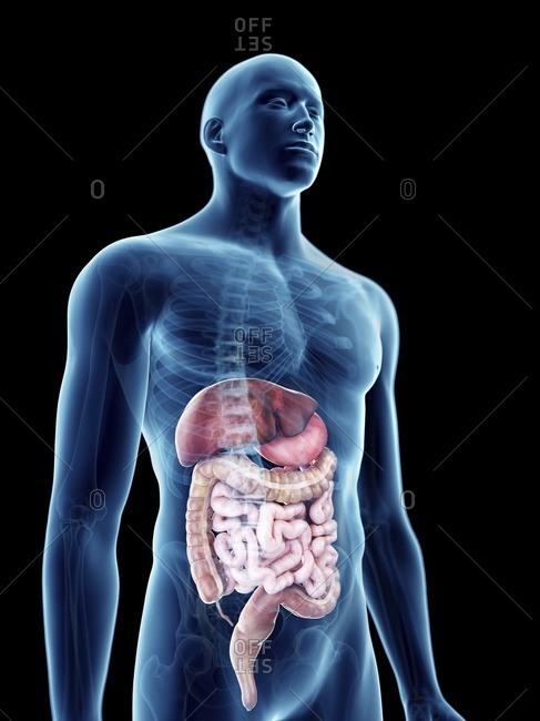 Illustration of a man's digestive system.