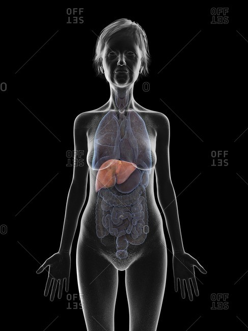 Illustration of an old woman's liver.