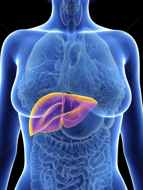Illustration of a woman's liver.