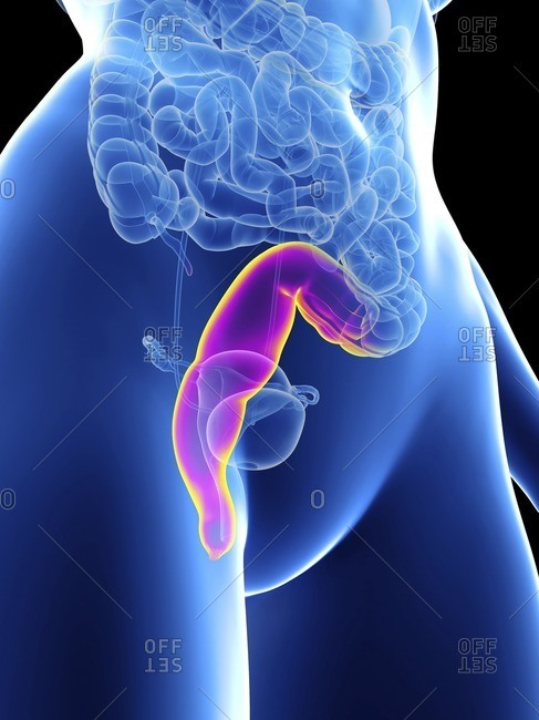 Illustration of a woman's rectum.
