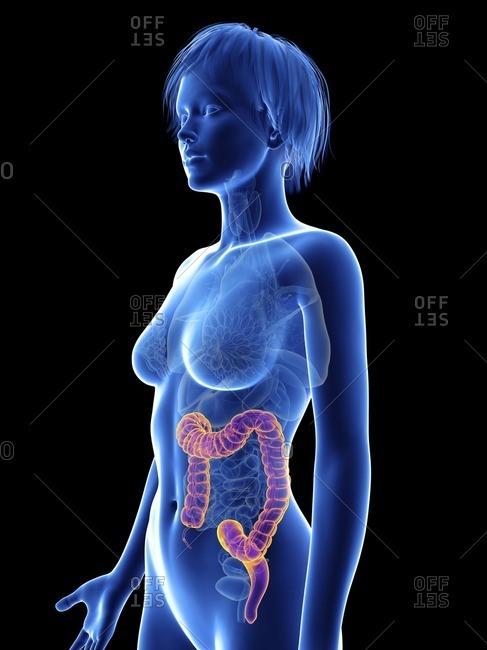 Illustration of a woman's colon.