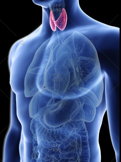 Illustration of a man's thyroid gland.