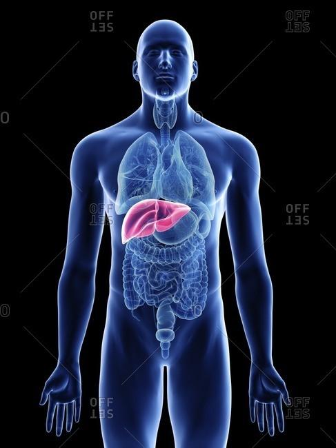 Illustration of a man's liver.