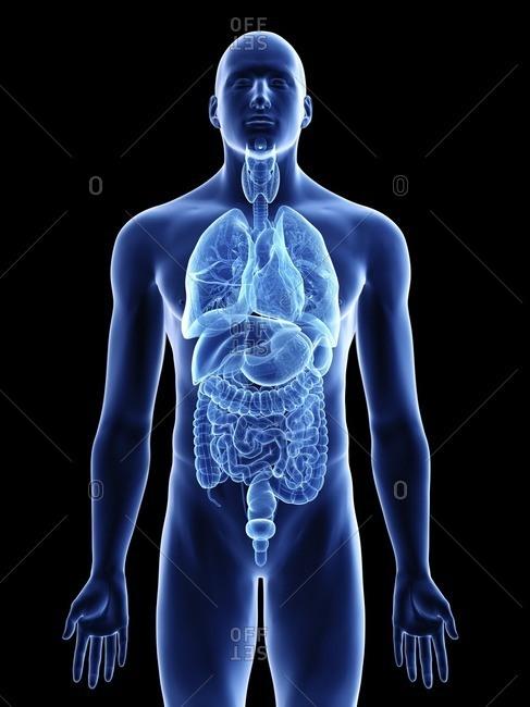 Illustration of a man's organs.