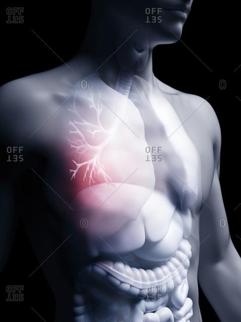 Illustration of the human bronchi.