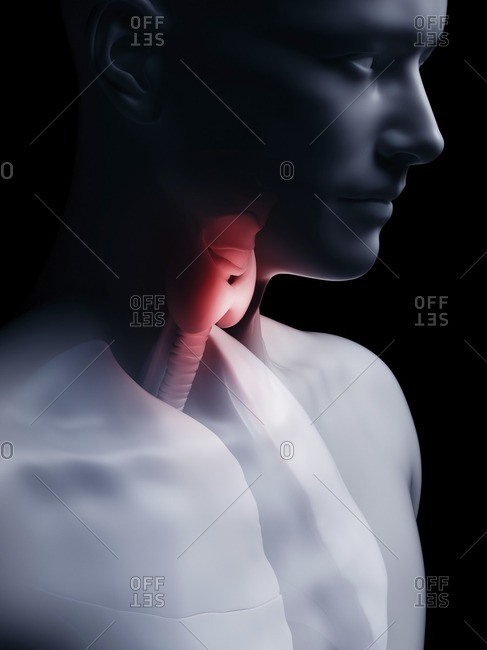 Illustration of the human thyroid gland.