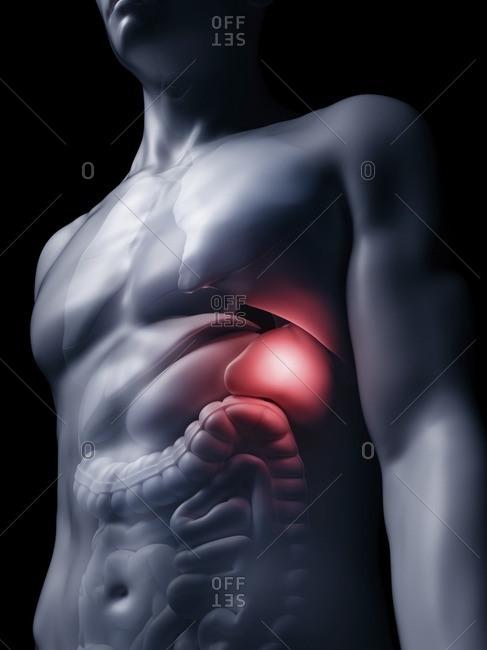 Illustration of the human spleen.