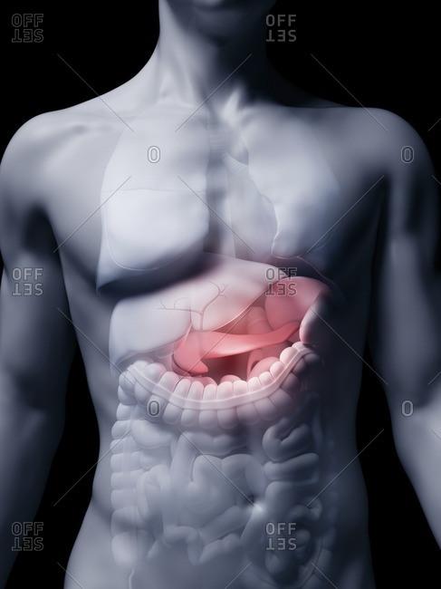 Illustration of the human pancreas.