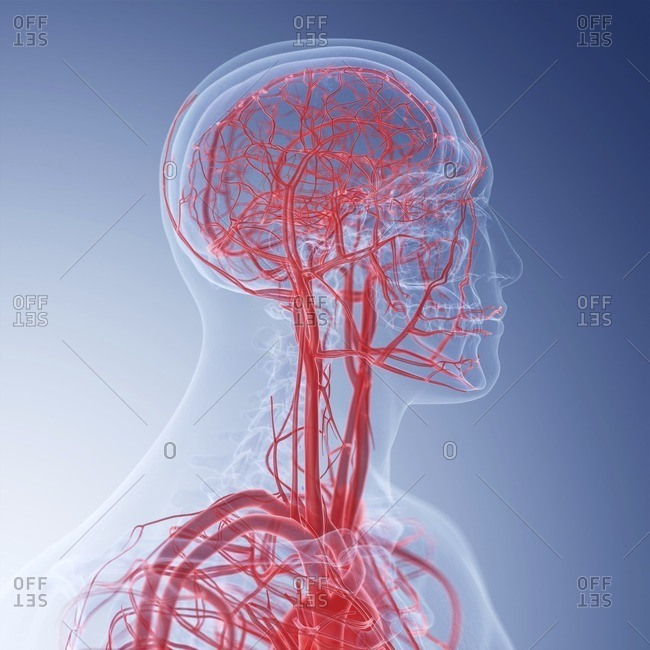 Illustration of the blood vessels of the head.