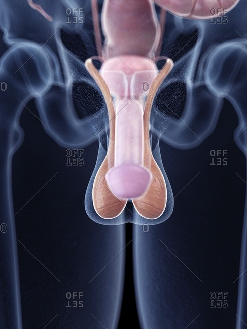 Illustration of penis anatomy.