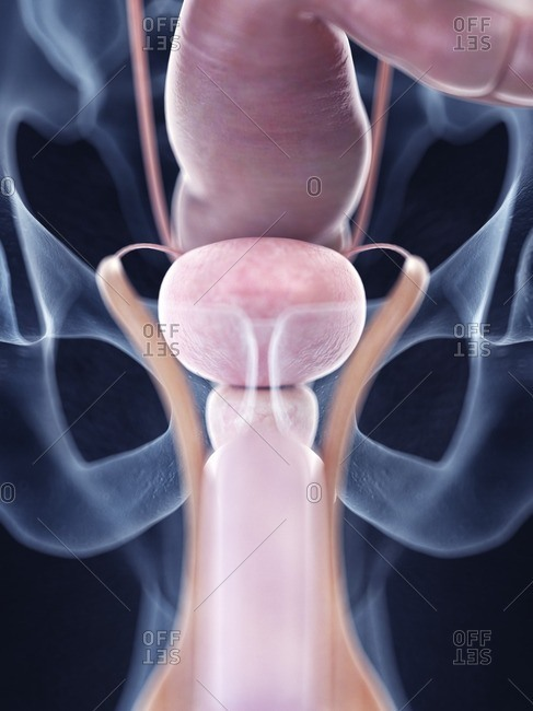 Illustration of the human bladder anatomy.