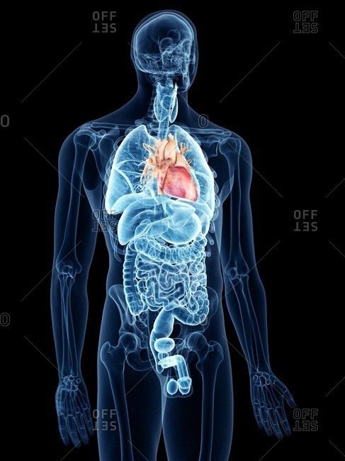 Illustration of the heart.