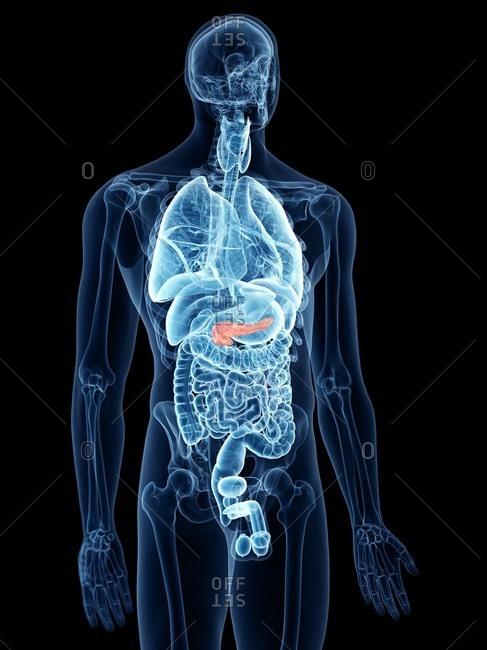 Illustration of the pancreas.