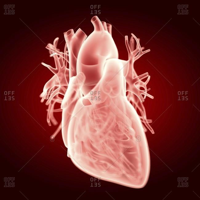 Illustration of the human heart.