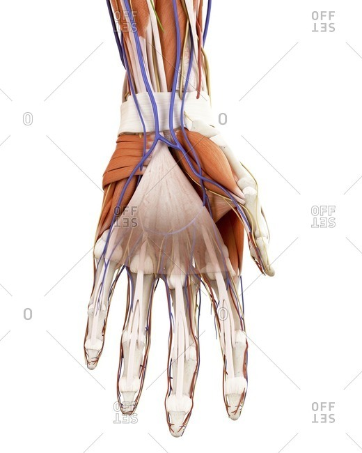 Illustration of the human hand anatomy.
