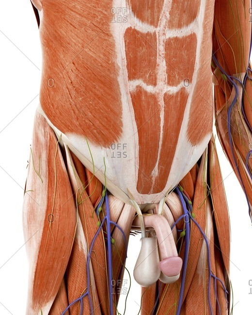 Illustration of the human abdominal anatomy.