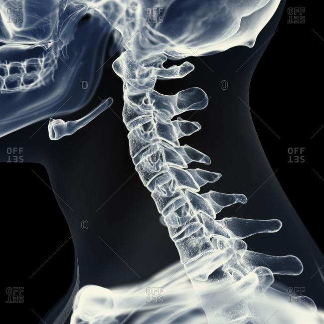 Illustration of the cervical spine.