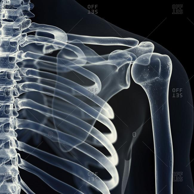 Illustration of the shoulder joint.