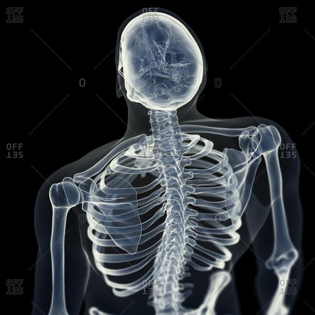 Illustration of the back bones.