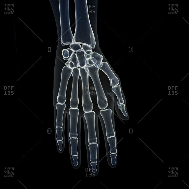 Illustration of the hand bones.