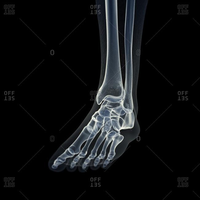 Illustration of the foot bones.