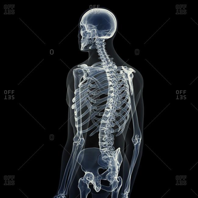 Illustration of the male skeleton.