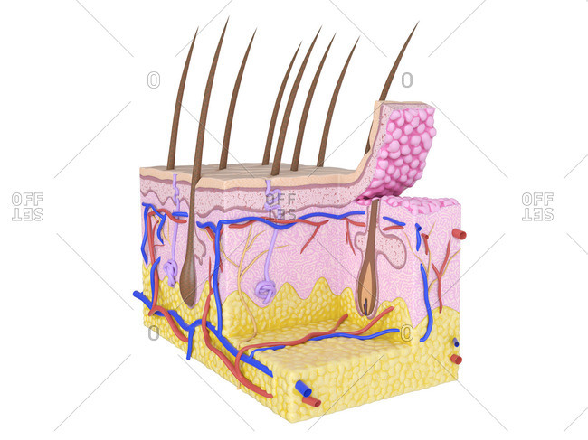 Illustration of the human skin.