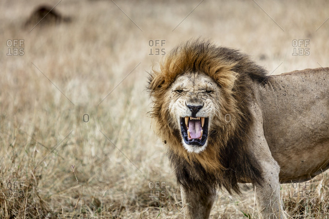 A male lion roars in the grass in the Serengeti National Park in Tanzania