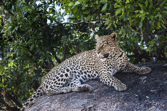 A female leopard rests in the shade on the rock after a meal in the Serengeti National Park in Tanzania