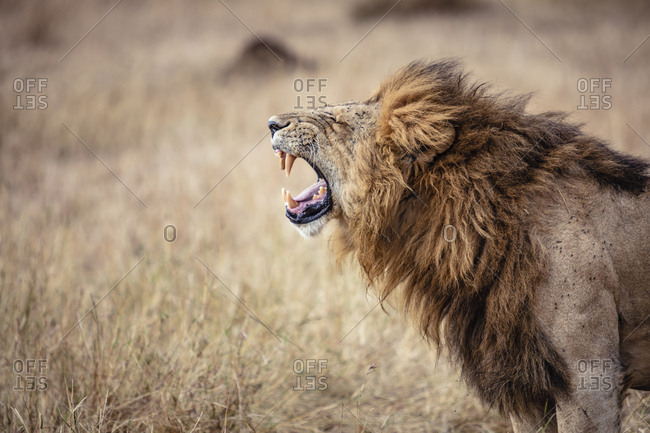 A male lion roaring in the grass in the Serengeti National Park in Tanzania