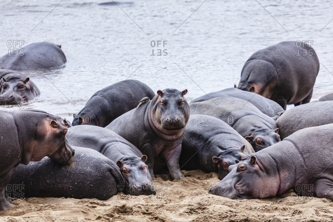 A group of hippos congregate on the banks of the Mara River in the Serengeti National Park in Tanzania