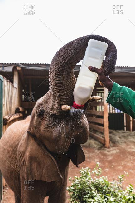 An orphan elephant drinks milk at a rescue center in Nairobi, Kenya