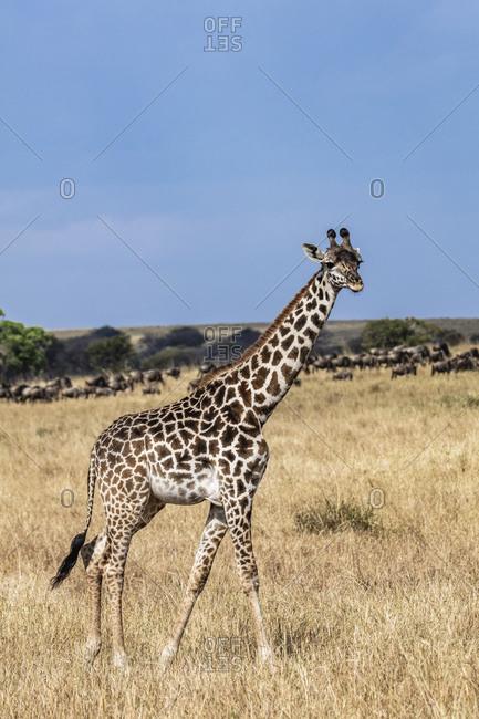 A giraffe walks through the savannah in the Serengeti National Park in Tanzania